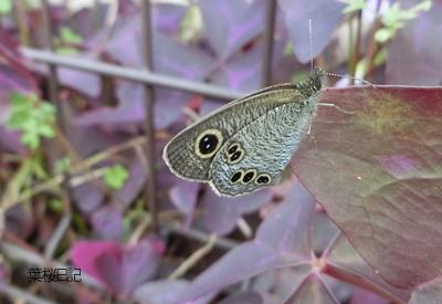 秋の蝶々.jpg